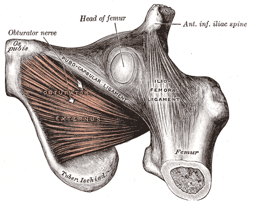 MUSCLES OF THE HIP FROM GRAY'S ANATOMY